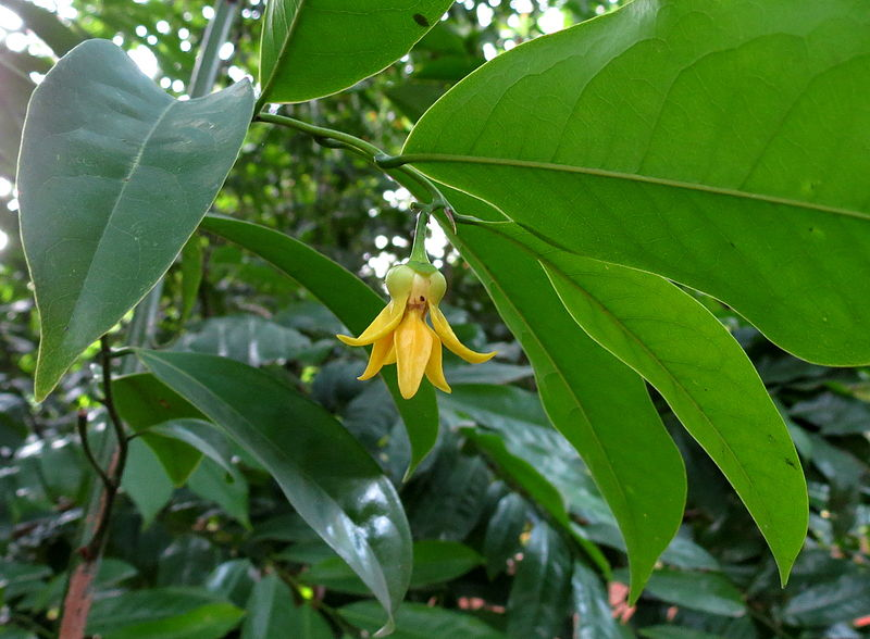 flor de ylang ylang