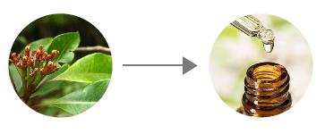 óleo essencial cravo folhas