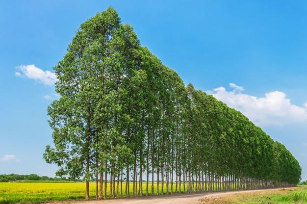 óleo essencial de eucalipto para usar no difusor