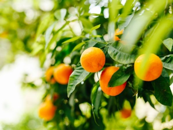 óleo essencial de tangerina benefícios