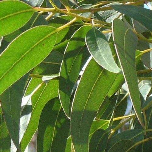 oleo essencial de eucalipto